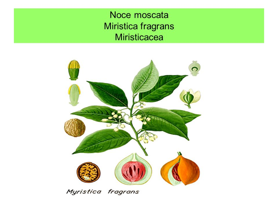 Noce moscata Miristica fragrans Miristicacea