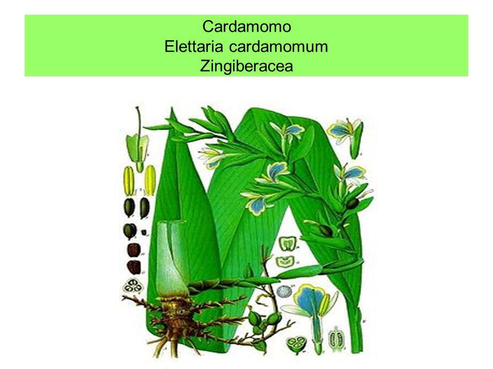 Cardamomo Elettaria cardamomum Zingiberacea