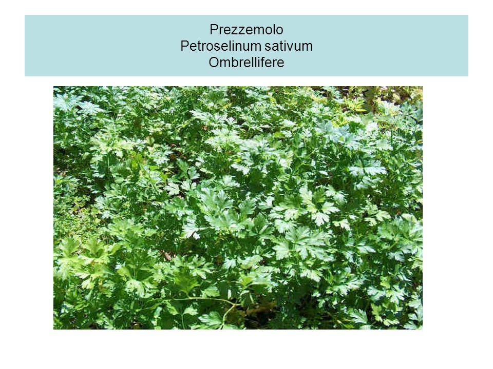Prezzemolo Petroselinum sativum Ombrellifere
