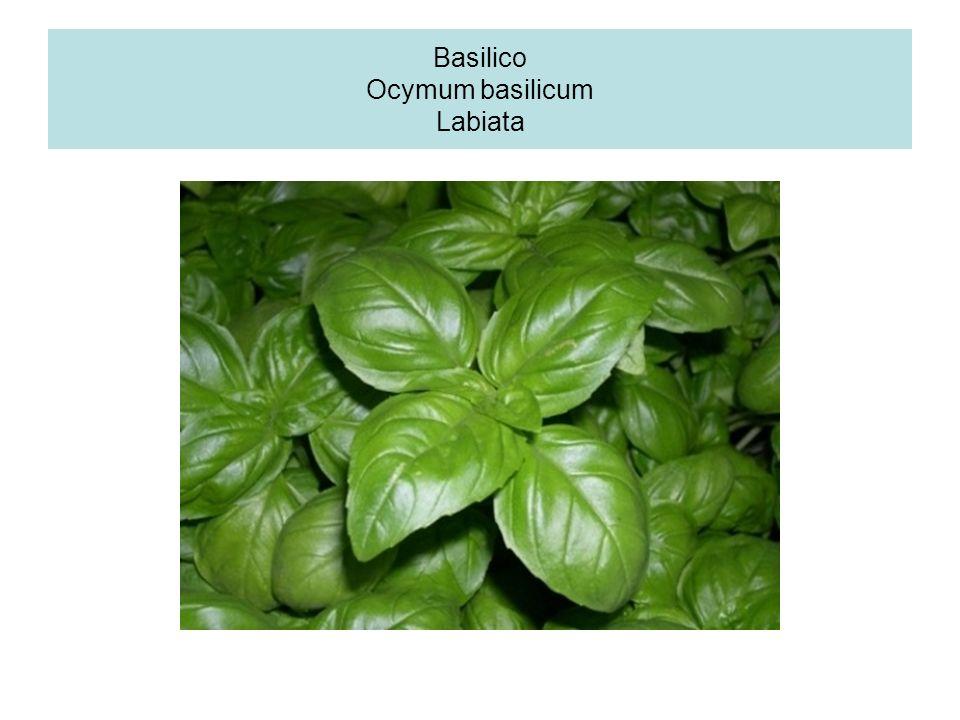 Basilico Ocymum basilicum Labiata