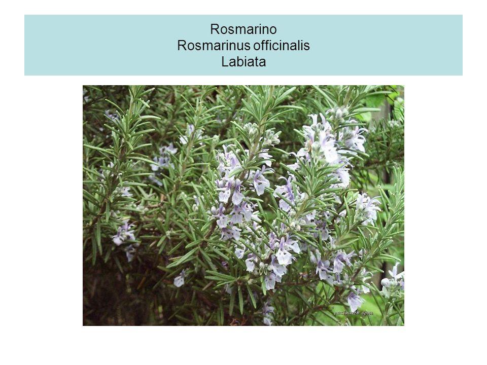 Rosmarino Rosmarinus officinalis Labiata