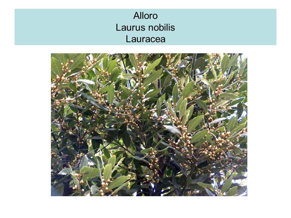 Alloro Laurus nobilis Lauracea