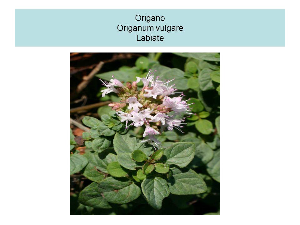 Origano Origanum vulgare Labiate