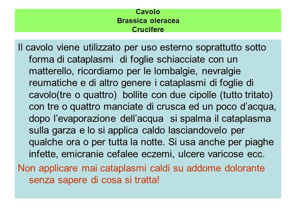 Cavolo Brassica oleracea Crucifere