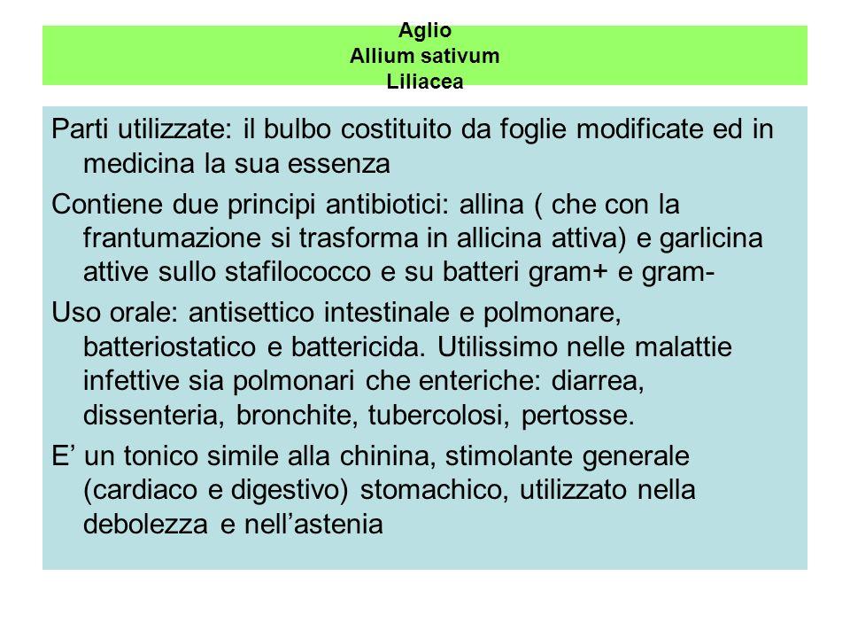Aglio Allium sativum Liliacea