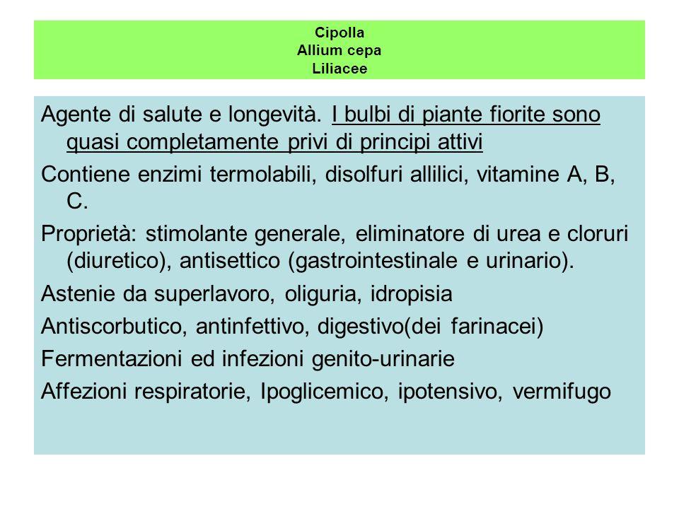 Cipolla Allium cepa Liliacee