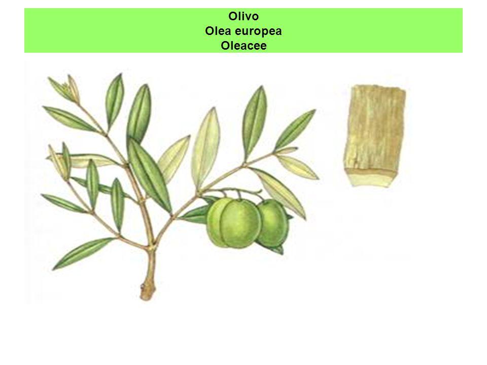 Olivo Olea europea Oleacee