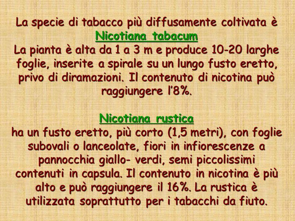 La specie di tabacco più diffusamente coltivata è Nicotiana tabacum La pianta è alta da 1 a 3 m e produce 10-20 larghe foglie, inserite a spirale su un lungo fusto eretto, privo di diramazioni.