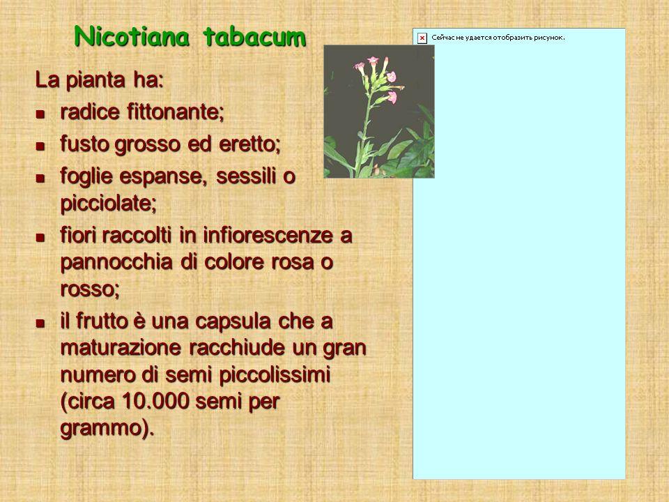 Nicotiana tabacum La pianta ha: radice fittonante;