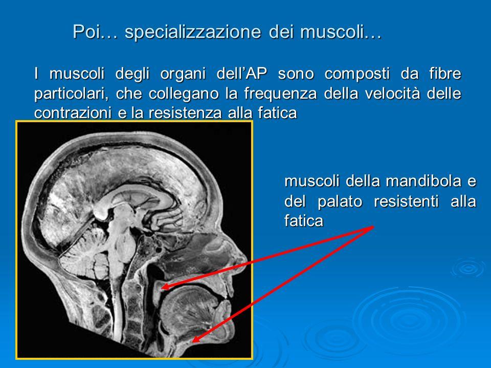 Poi… specializzazione dei muscoli…