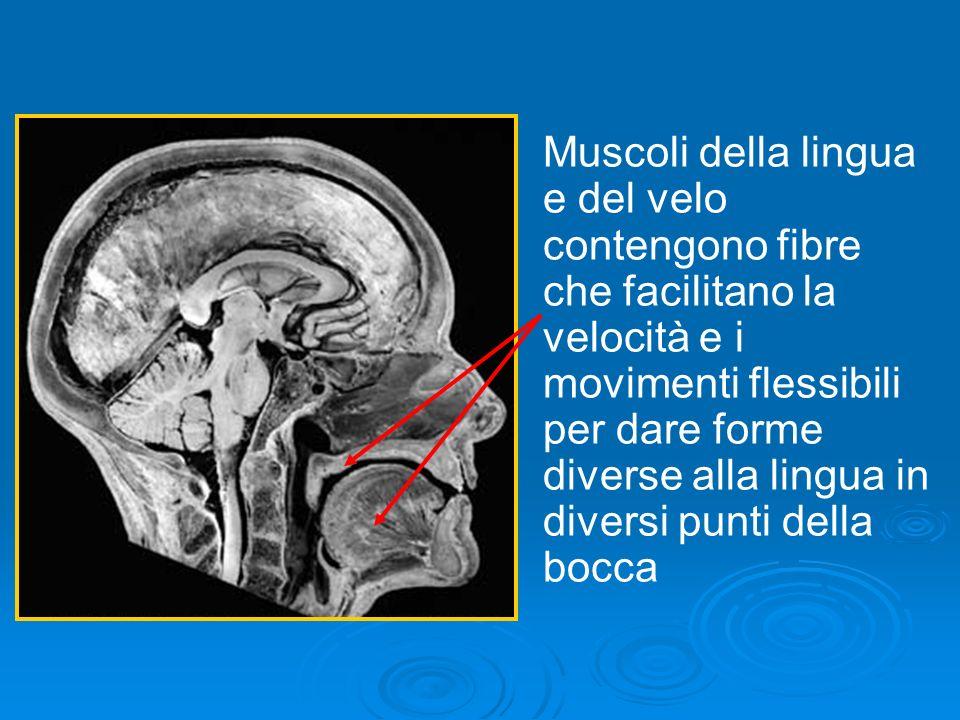 Muscoli della lingua e del velo contengono fibre che facilitano la velocità e i movimenti flessibili per dare forme diverse alla lingua in diversi punti della bocca