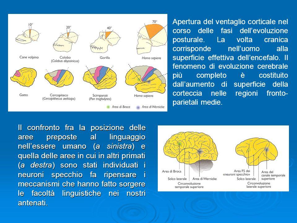 Apertura del ventaglio corticale nel corso delle fasi dell'evoluzione posturale. La volta cranica corrisponde nell'uomo alla superficie effettiva dell'encefalo. Il fenomeno di evoluzione cerebrale più completo è costituito dall'aumento di superficie della corteccia nelle regioni fronto-parietali medie.