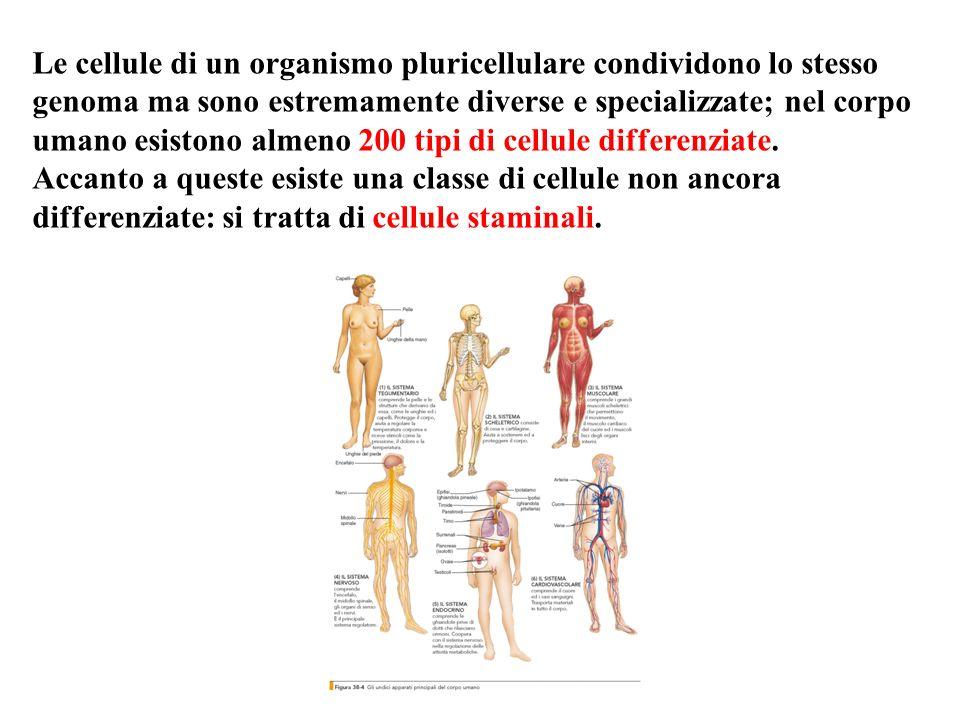Le cellule di un organismo pluricellulare condividono lo stesso genoma ma sono estremamente diverse e specializzate; nel corpo umano esistono almeno 200 tipi di cellule differenziate.
