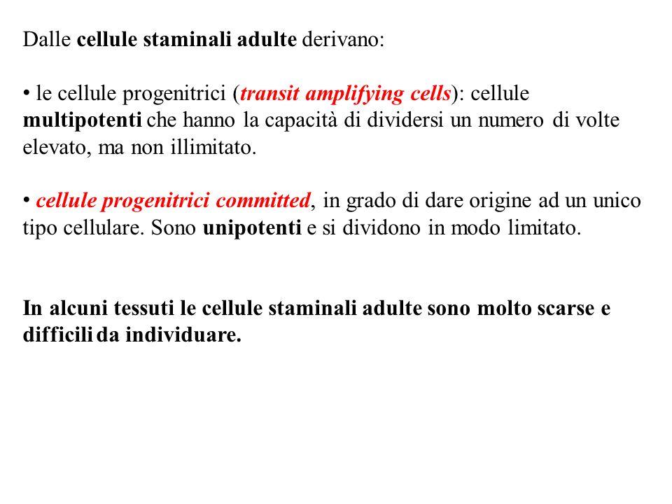 Dalle cellule staminali adulte derivano: