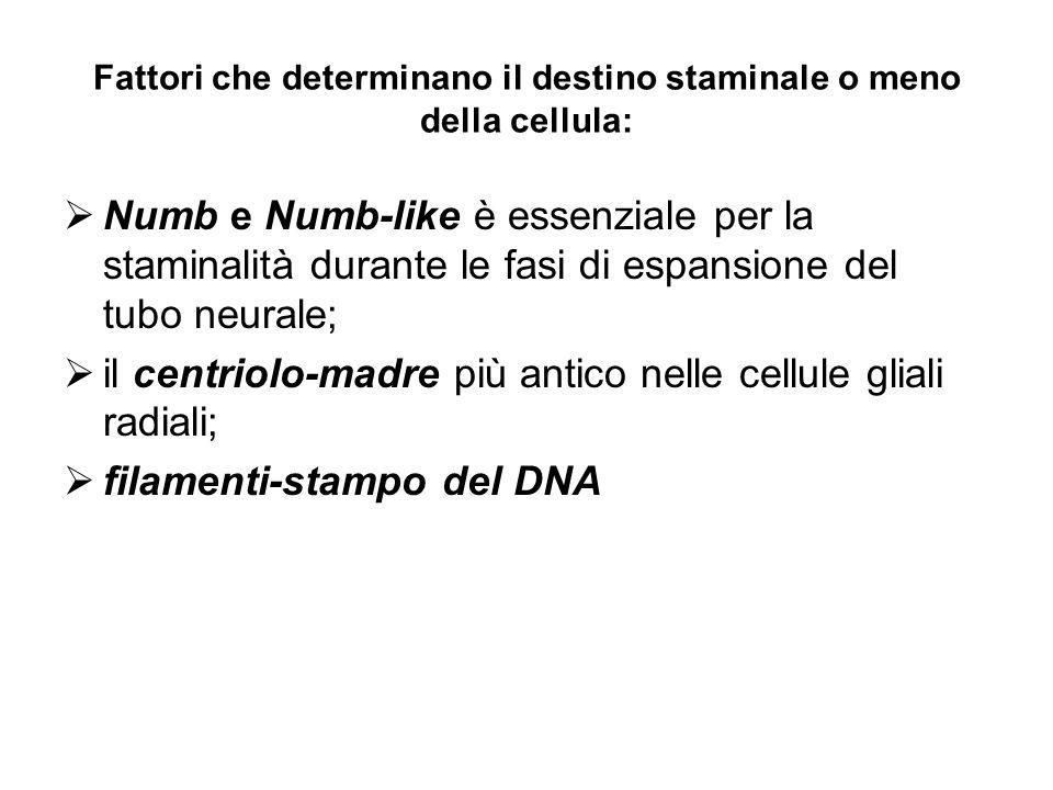 Fattori che determinano il destino staminale o meno della cellula: