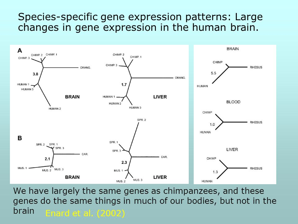 Species-specific gene expression patterns: Large changes in gene expression in the human brain.