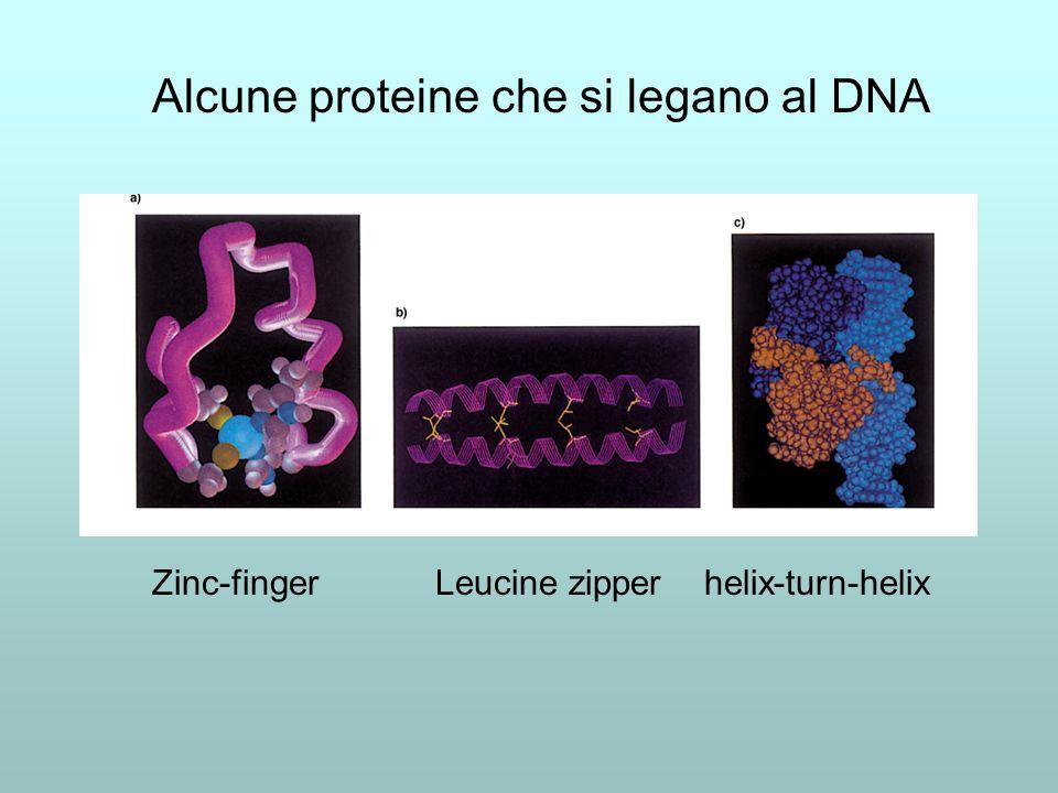Alcune proteine che si legano al DNA
