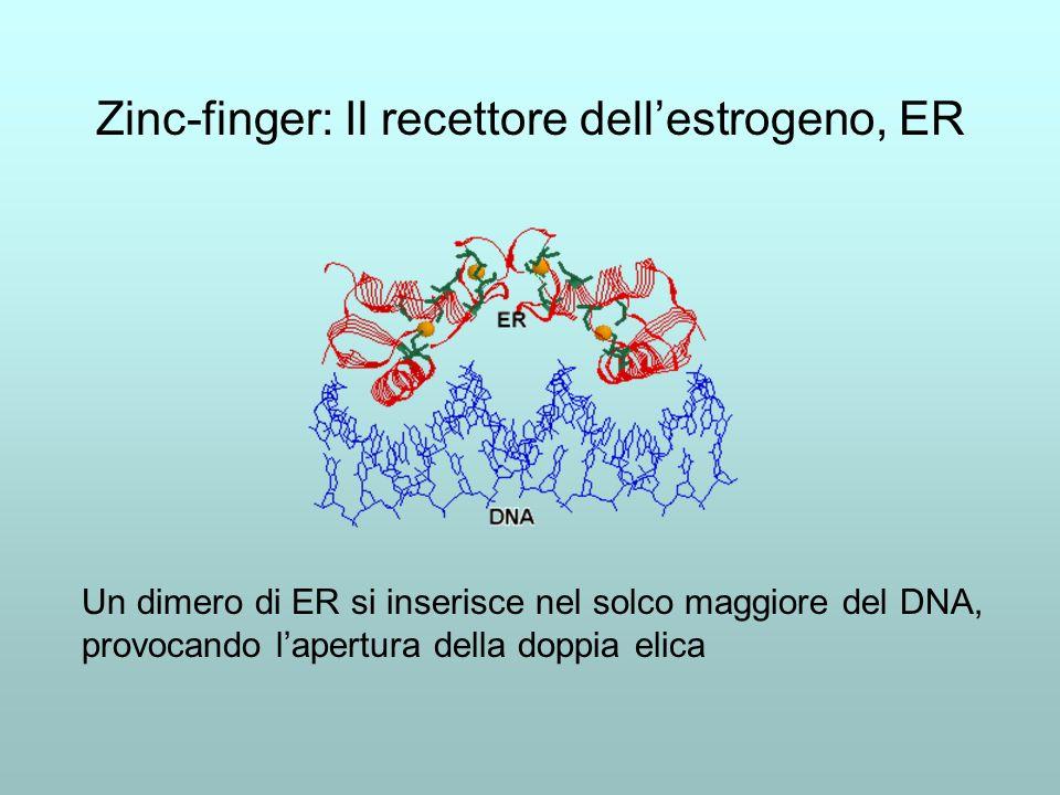 Zinc-finger: Il recettore dell'estrogeno, ER