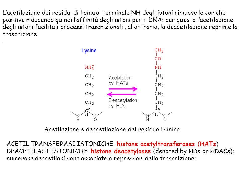 L'acetilazione dei residui di lisina al terminale NH degli istoni rimuove le cariche positive riducendo quindi l'affinità degli istoni per il DNA: per questo l'acetilazione degli istoni facilita i processi trascrizionali , al ontrario, la deacetilazione reprime la trascrizione