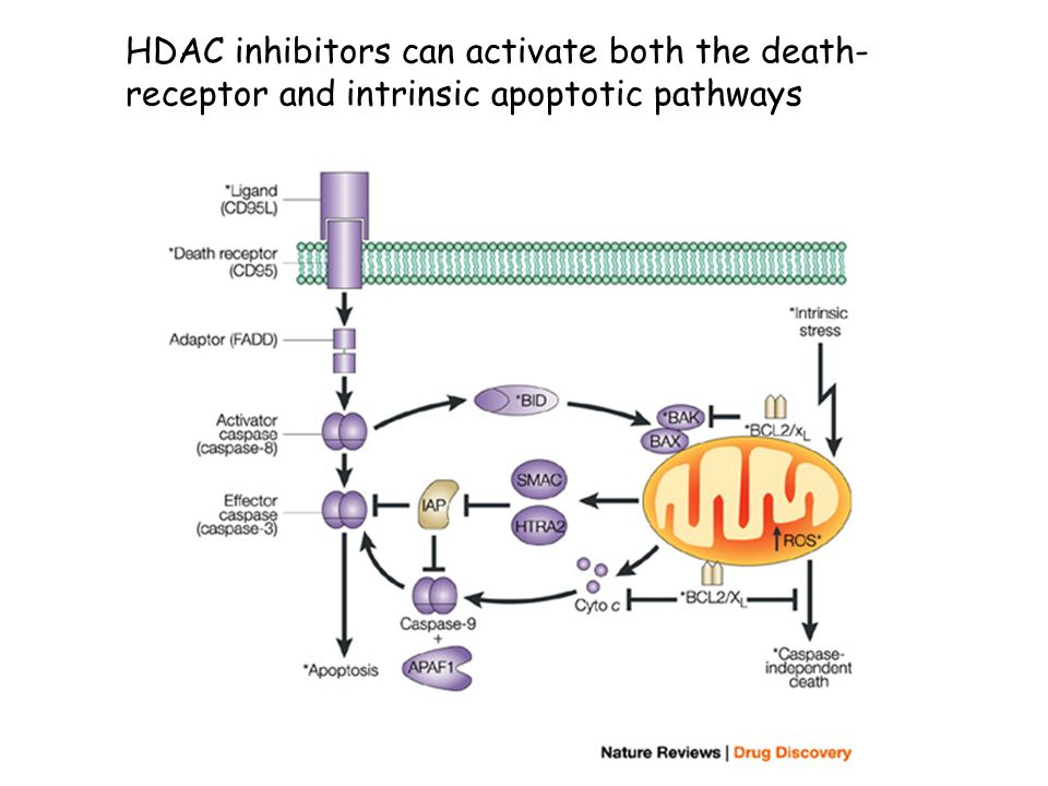 HDAC inhibitors can activate both the death-receptor and intrinsic apoptotic pathways