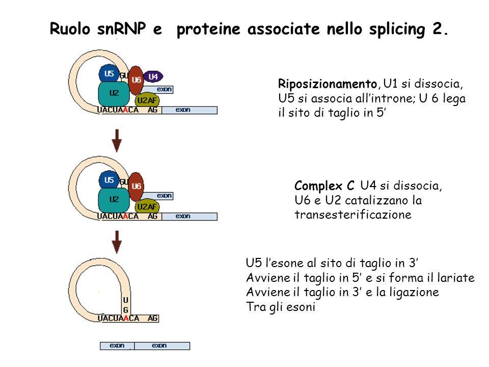 Ruolo snRNP e proteine associate nello splicing 2.