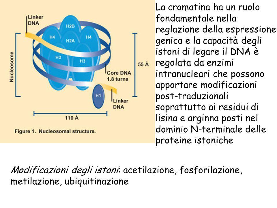 La cromatina ha un ruolo fondamentale nella reglazione della espressione genica e la capacità degli istoni di legare il DNA è regolata da enzimi intranucleari che possono apportare modificazioni post-traduzionali soprattutto ai residui di lisina e arginna posti nel dominio N-terminale delle proteine istoniche