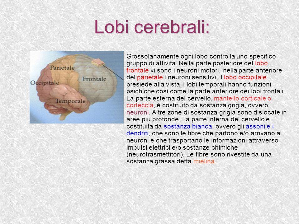 Lobi cerebrali: