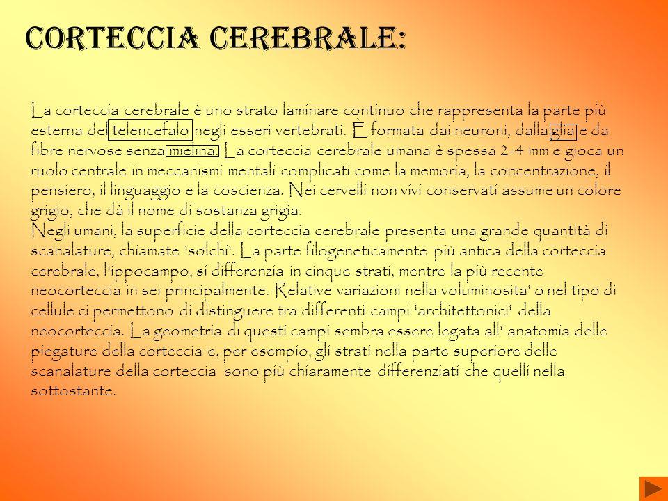 CORteccia cerebrale: