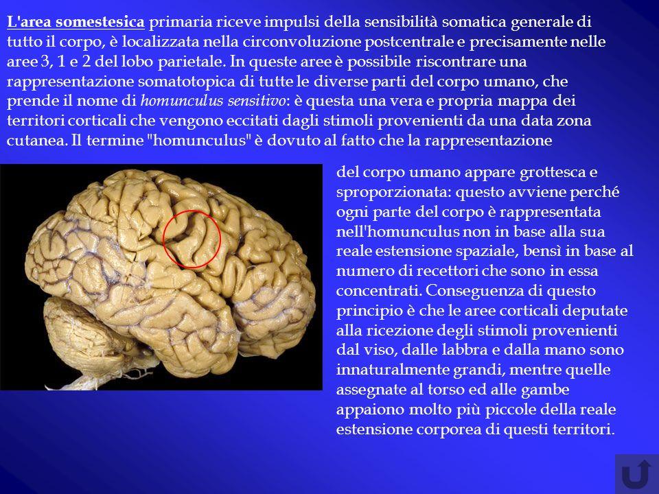 L area somestesica primaria riceve impulsi della sensibilità somatica generale di tutto il corpo, è localizzata nella circonvoluzione postcentrale e precisamente nelle aree 3, 1 e 2 del lobo parietale. In queste aree è possibile riscontrare una rappresentazione somatotopica di tutte le diverse parti del corpo umano, che prende il nome di homunculus sensitivo: è questa una vera e propria mappa dei territori corticali che vengono eccitati dagli stimoli provenienti da una data zona cutanea. Il termine homunculus è dovuto al fatto che la rappresentazione