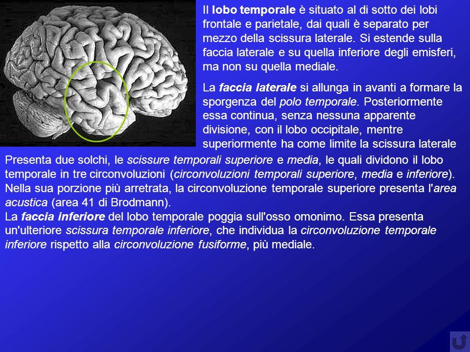 Il lobo temporale è situato al di sotto dei lobi frontale e parietale, dai quali è separato per mezzo della scissura laterale. Si estende sulla faccia laterale e su quella inferiore degli emisferi, ma non su quella mediale.