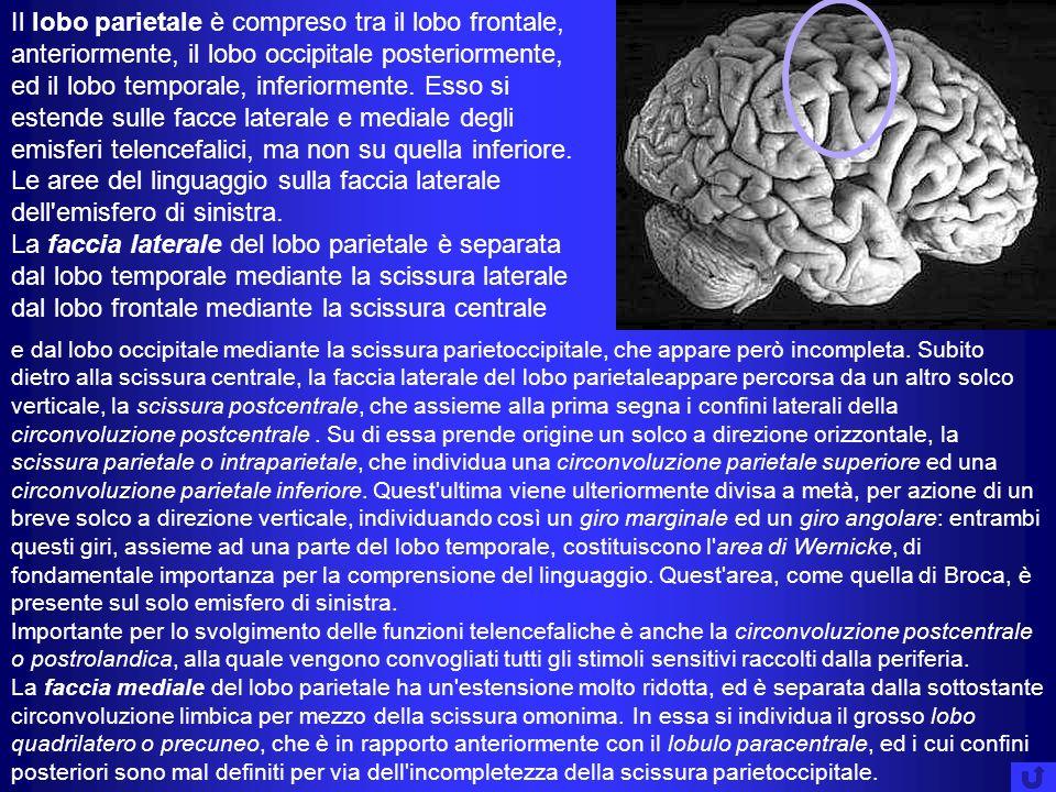 Il lobo parietale è compreso tra il lobo frontale, anteriormente, il lobo occipitale posteriormente, ed il lobo temporale, inferiormente. Esso si estende sulle facce laterale e mediale degli emisferi telencefalici, ma non su quella inferiore. Le aree del linguaggio sulla faccia laterale dell emisfero di sinistra.