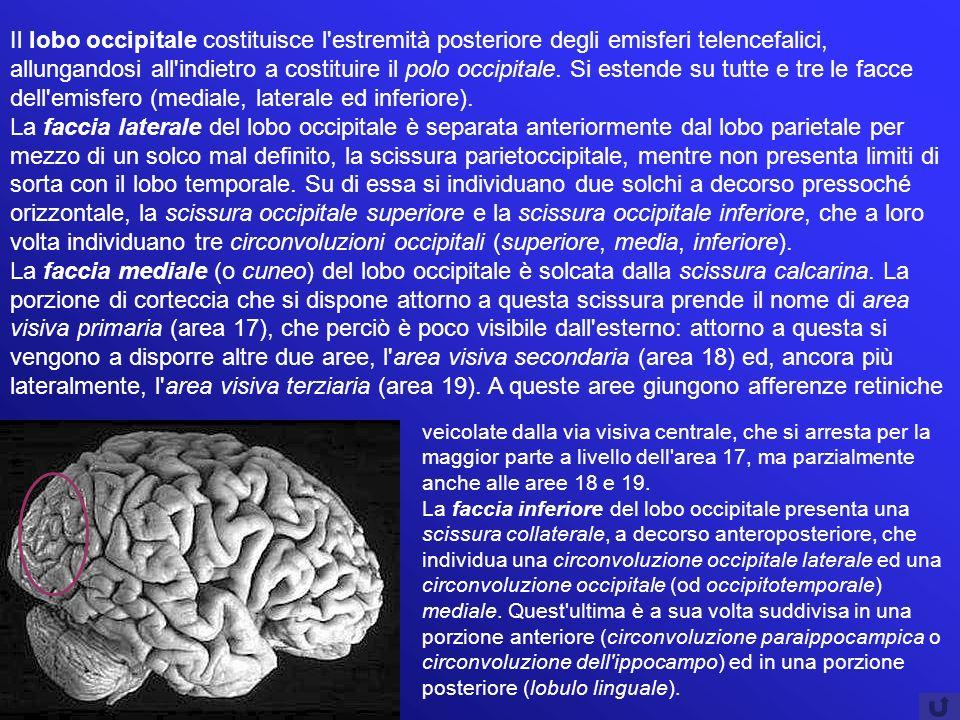 Il lobo occipitale costituisce l estremità posteriore degli emisferi telencefalici, allungandosi all indietro a costituire il polo occipitale. Si estende su tutte e tre le facce dell emisfero (mediale, laterale ed inferiore).