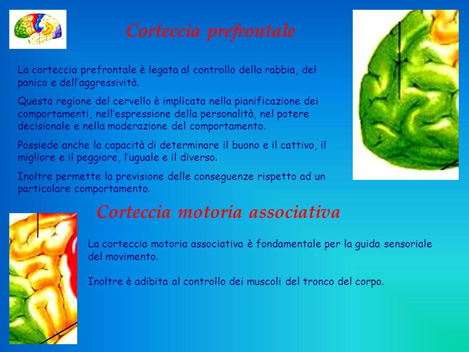 Corteccia prefrontale Corteccia motoria associativa
