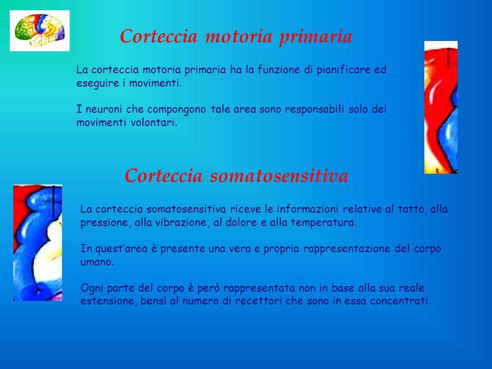 Corteccia motoria primaria Corteccia somatosensitiva