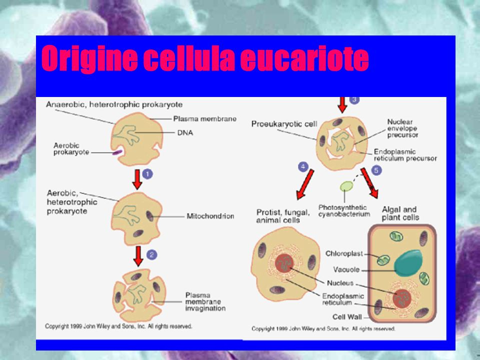 Origine cellula eucariote