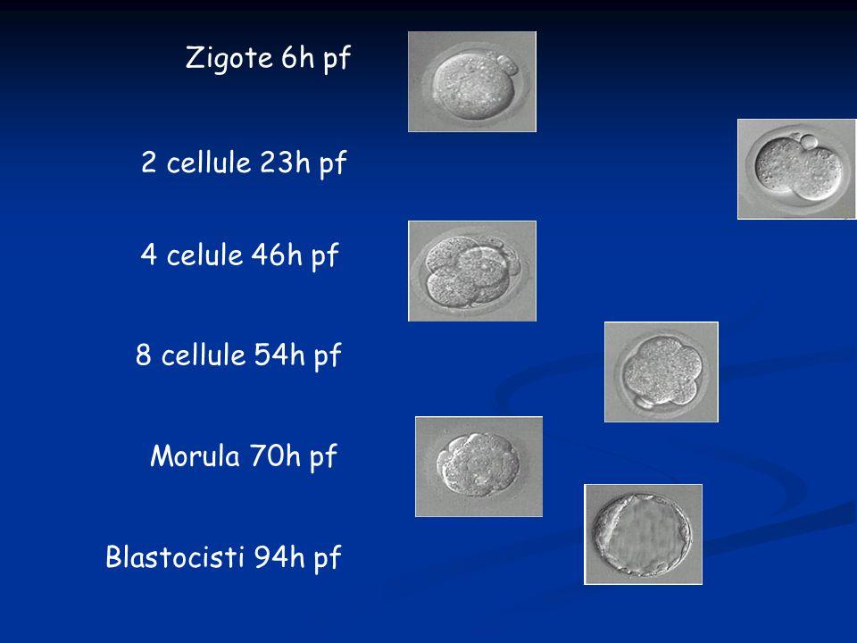 Zigote 6h pf 2 cellule 23h pf 4 celule 46h pf 8 cellule 54h pf Morula 70h pf Blastocisti 94h pf