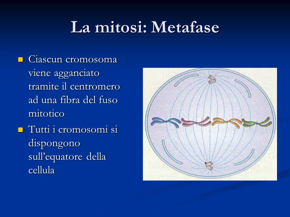 La mitosi: Metafase Ciascun cromosoma viene agganciato tramite il centromero ad una fibra del fuso mitotico.