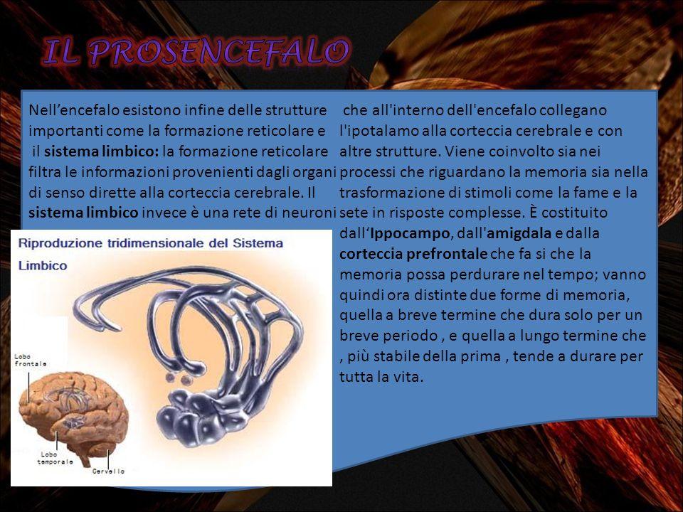 IL prosencefalo Nell'encefalo esistono infine delle strutture importanti come la formazione reticolare e.