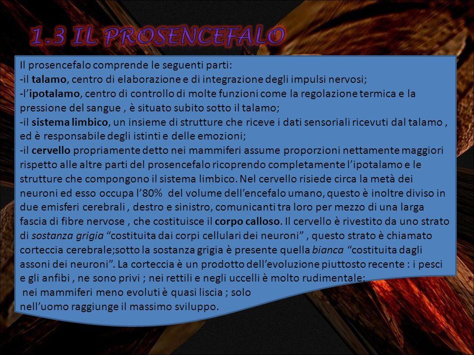 1.3 IL prosencefalo Il prosencefalo comprende le seguenti parti: