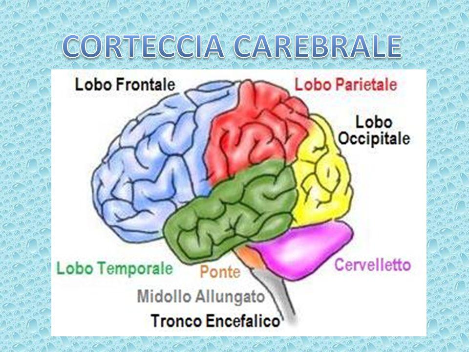 CORTECCIA CAREBRALE