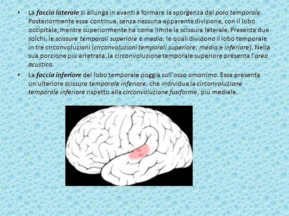 La faccia laterale si allunga in avanti a formare la sporgenza del polo temporale. Posteriormente essa continua, senza nessuna apparente divisione, con il lobo occipitale, mentre superiormente ha come limite la scissura laterale. Presenta due solchi, le scissure temporali superiore e media, le quali dividono il lobo temporale in tre circonvoluzioni (circonvoluzioni temporali superiore, media e inferiore). Nella sua porzione più arretrata, la circonvoluzione temporale superiore presenta l area acustica.
