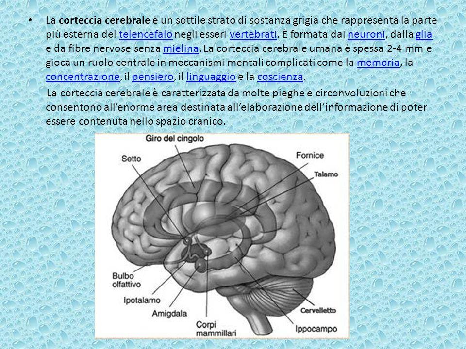 La corteccia cerebrale è un sottile strato di sostanza grigia che rappresenta la parte più esterna del telencefalo negli esseri vertebrati. È formata dai neuroni, dalla glia e da fibre nervose senza mielina. La corteccia cerebrale umana è spessa 2-4 mm e gioca un ruolo centrale in meccanismi mentali complicati come la memoria, la concentrazione, il pensiero, il linguaggio e la coscienza.
