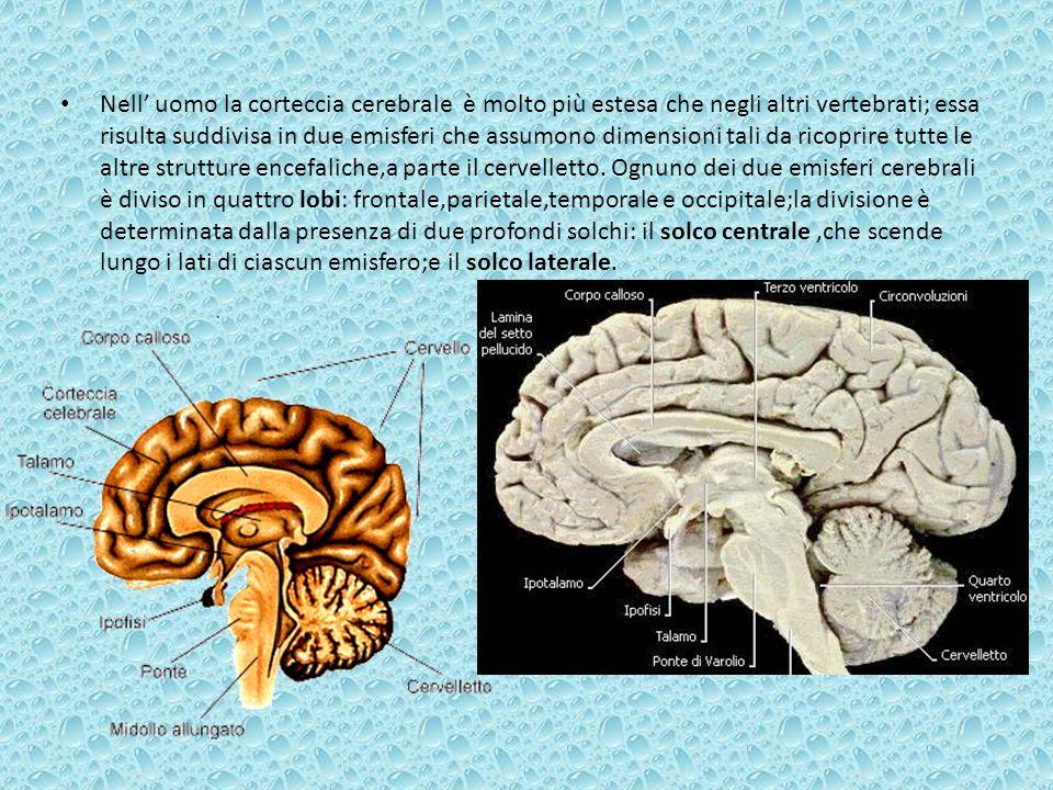 Nell' uomo la corteccia cerebrale è molto più estesa che negli altri vertebrati; essa risulta suddivisa in due emisferi che assumono dimensioni tali da ricoprire tutte le altre strutture encefaliche,a parte il cervelletto.