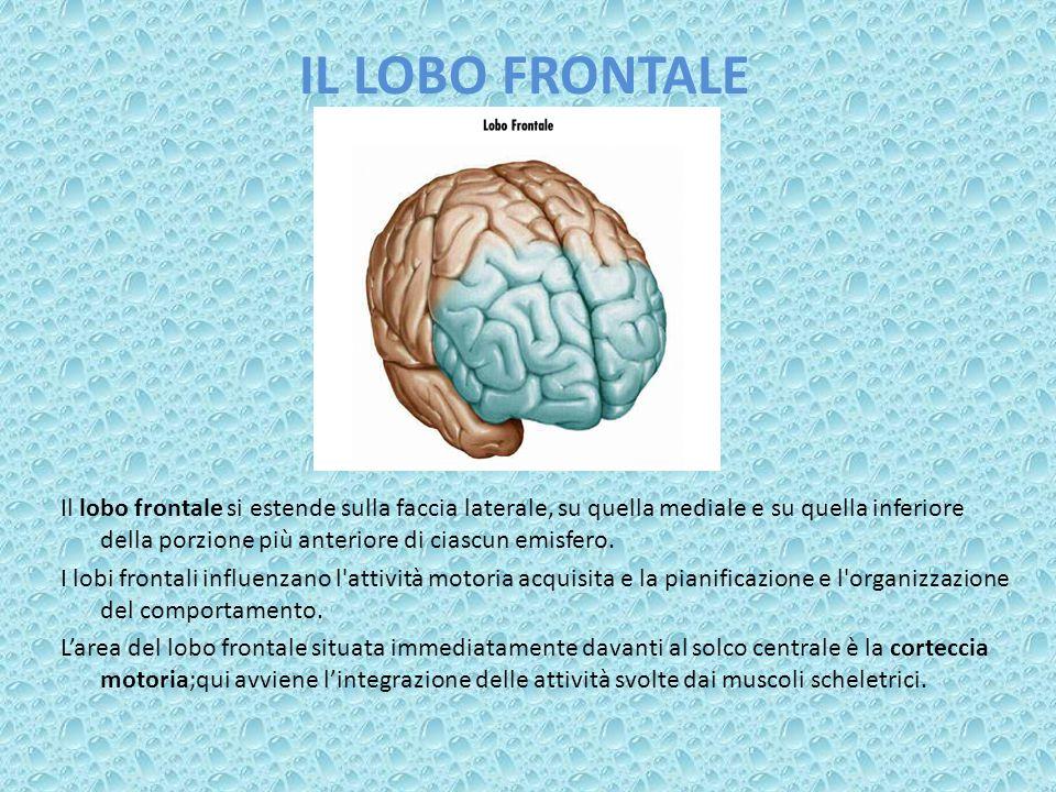 IL LOBO FRONTALE