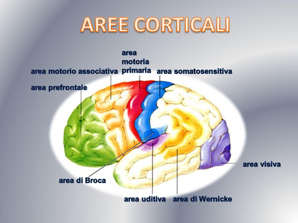 AREE CORTICALI area motoria primaria area motorio associativa