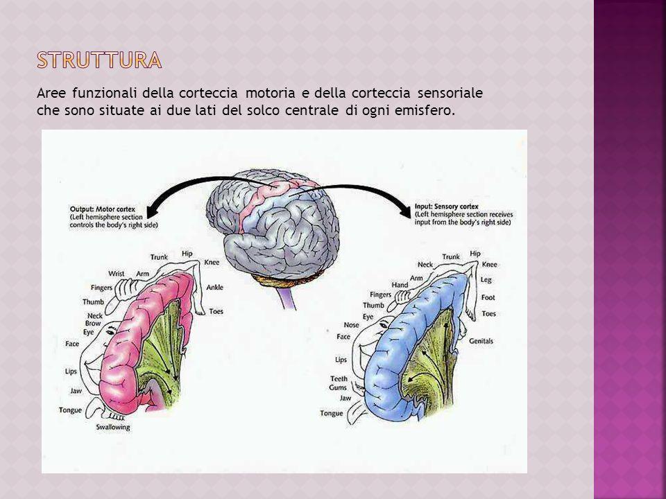STRUTTURA Aree funzionali della corteccia motoria e della corteccia sensoriale che sono situate ai due lati del solco centrale di ogni emisfero.