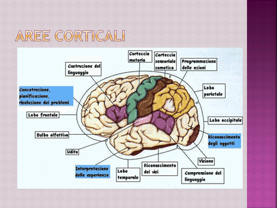Aree corticali