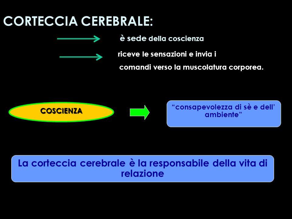 CORTECCIA CEREBRALE: è sede della coscienza