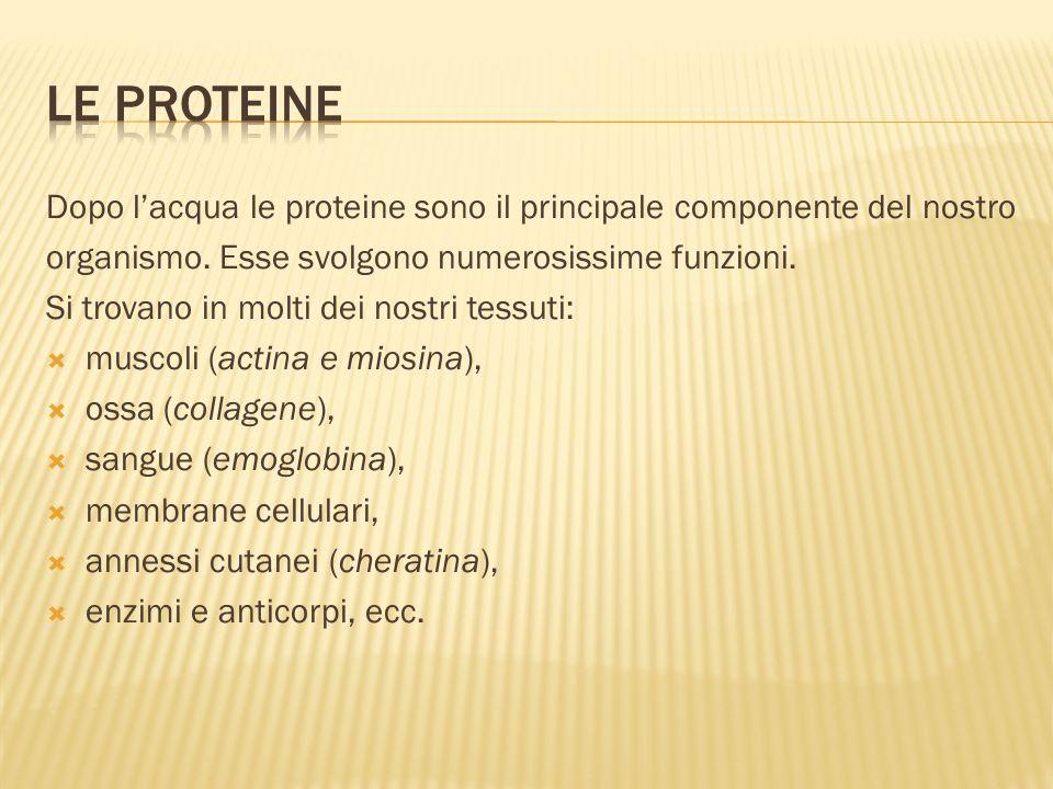 Le proteine Dopo l'acqua le proteine sono il principale componente del nostro. organismo. Esse svolgono numerosissime funzioni.
