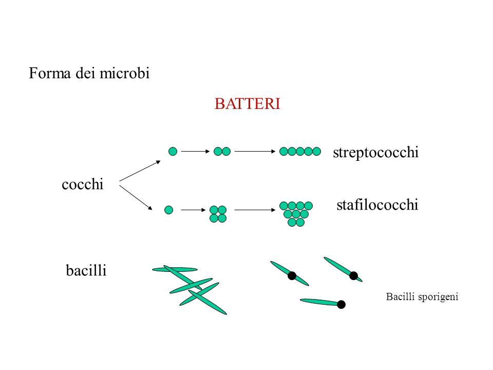 Forma dei microbi BATTERI streptococchi cocchi stafilococchi bacilli